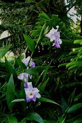 Sobralia Veitchii primary hybrid orchid 11-18 (nolehace) Tags: sobralia veitchii primary hybrid orchid 1118 fall nolehace sanfranciso fz1000 flower bloom plant