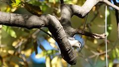 White-breasted Nuthatch (mausgabe) Tags: olympus em1 olympusm40150mmf28 olympusmc14 nyc centralpark theramble bird whitebreastednuthatch thefeeders