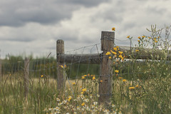 finding refuge (rockinmonique) Tags: fence flowers blooms blossom bee clouds sky green yellow grey moniquewphotography canon canont6s tamron tamron45mm copyright2018moniquewphotography