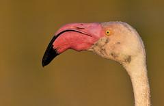 Wet Flamingo (paolo_barbarini) Tags: flamingo fenicottero camargue france birds animals wildlife nature pink wet portrait