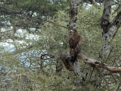 Tawny eagle - Aquila rapax (Linda DV (away)) Tags: aquilarapax tawnyeagle accipitriformes lindadevolder travel africa tanzania 2018 nature geotagged fauna flora serengeti