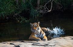 Tiger splash (WhiteEye2) Tags: tiger bengaltiger nature wildlife ranthambhorenationalpark india bigcats wild
