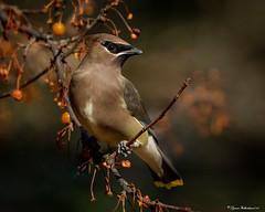 waxww1 (lfalterbauer) Tags: cedarwaxwing nature wildlife canon 7d mark ii bokeh dslr digital camera lens newbritain ornithology avian flickr adobe