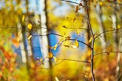Golden (Stefano Rugolo) Tags: stefanorugolo pentax k5 pentaxk5 helios44258mmf2 helios442 helios m42 notitle forest autumn colors bokeh depthoffield manualfocuslens manualfocus manual vintagelens primelens darktable gimp hälsingland sweden sverige branches foliage golden