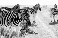 Road Blockage _4780-2 (hkoons) Tags: etoshanationalpark etoshapan nationalpark nebrowniiwaterhole southernafrica africa african etasha kunene namibia okaukuejo oshana oshikoto otjozondjupa zebra animal animals beast herbivore landscape mammal outdoors outside panorama park stripes wild zebras