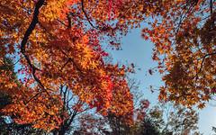 Fall Foliage (bacon.dumpling) Tags: arashiyama autumn fallfoliage fujifilmxpro2 fujinonxf16mmf14rwr japan koyo kyoto leafchangingseason