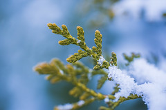 20181228_F0001: Snowy evergreen (wfxue) Tags: plant tree evergreen biology white snow ice crystals winter nature macro