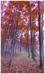 November Oaks (michellewendling907) Tags: autumn fall red oak morning rain mist lakecounty ryersonwoods illinois path nature natural misty