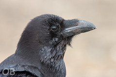 Grand corbeau (Olivier Brosseau) Tags: canaries espagne flickrnature lanzarote corbeau noir oiseau plume