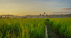 Some fields (feisas) Tags: indonesia java sun nature landscape matahari colorful outside outdoor local vivid green trees forest alam bagus rice field fields grass adventure travel sunrise palms sky clouds