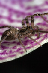 Yearly Drummer Boy - _TNY_7776 (Calle Söderberg) Tags: macro canon canoneos5dmarkii canon5dmkii canon5dmarkii 5d2 flash twinflash yongnuo yn24ex canonmpe65mmf2815x mpe65 blackbackground arachnida araneae trumspindel purple orchid phalaenopisis bristles spindel spider spökspindel buzzingspider anyphaena accentuata anyphaenidae mottled hair hairy f95 araneomorphae