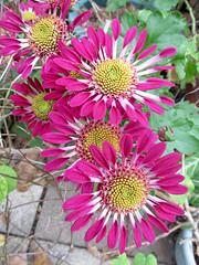 Spoon Mums (M.P.N.texan) Tags: mum mums flower flowers flowering bloom blooms blooming chrysanthemum plant garden