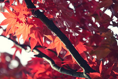 Warm Autumn (jasohill) Tags: 2018 leaves color beautiful morioka nature photography life city park autumn iwate japan red