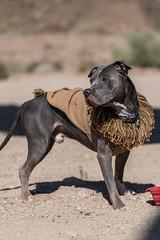 Bear The Desert Lion (itsBryan) Tags: sony sonyalpha sonyg sonya7r sonya7r2 sonya7rii socal offroad toyota tacoma 4x4 pitbull jeep wrangler nissan frontier desert wildlife joshuatree