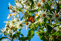 Monarch Butterfly (Eric Bloecher) Tags: monarch butterfly butterflies migration insect insects bugs animals animal wildlife бабочка бабочки white flower flowers leaf leaves sanctuary pacific grove california
