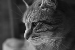 Portrait - Tallulah (Corinne Lejeune Girot) Tags: cat chat macro animal cute mignon blackandwhite noiretblanc