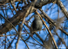 GRAY CATBIRD (imeshome) Tags: bird catbird tree red berries nature wildlife canal towpath wildwood lake water ice gray larry