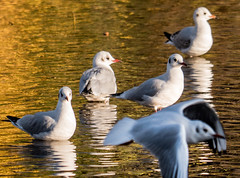 Fly past (MikeONeil) Tags: water gull river bakewell