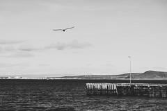 Remember a day before today (.KiLTRo.) Tags: kiltro cl chile porvenir magallanes tierradelfuego patagonia nature pier seagull bird sea ocean landscape fly flight sky