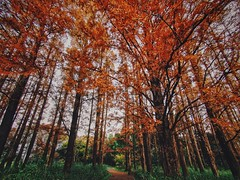 Into the wild (Kito K (fxkito2)) Tags: nature japan autumn tokyo color lumix olympus park red omd