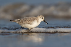 Sanderling (Calidris alba) (Wildlife Photography by Matt Latham) Tags: 7dmarkii calidrisalba canon mattlatham norfolk northnorfolk photography rspb sanderling titchwellrspb unitedkingdom bird birdphotography nature naturephotography wader wildlife wildlifephotography