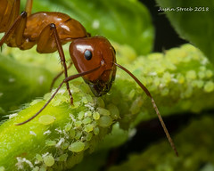 Ant Farming Aphids 5 (strjustin) Tags: ant aphid insect bug macro beautiful