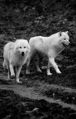 White Wolves (nathalie beauchamp) Tags: loup blanc white wolves zooparcdebeauval zooparc zoo nikon rare beauté pelage animaux animal blackandwhite noiretblanc