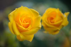 rose 5630 (junjiaoyama) Tags: japan flower rose plant winter yellow bokeh macro