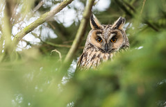Back to the dortoir (Eric Penet) Tags: longeared owl france faune animal sauvage avesnois hiver janvier hibou moyenduc moyen duc rapace nocturne oiseau bird nature nord wildlife wild