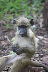 Baby Baboon (cj_hunter) Tags: babybaboon zambia africa nature landscape wildlife wildanimal wild animal tourism safari travel baby baboon