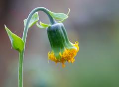 Flower (LuckyMeyer) Tags: flower fleur botanical garden green yellow makro blume blüte