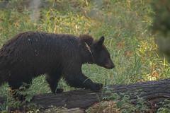 Ours noir (Samuel Raison) Tags: ours oursnoir bear blackbear wildlife nature animal yellowstone yellowstonenationalpark yellowstonewildlife nikon nikond800 nikon4600mmafsgvr