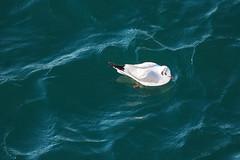 (garthim) Tags: olympus mzuiko omd em1 40150mm japan sea 東京湾 bird