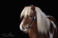 Pinglan (tovasfoton) Tags: pony horse horses cute small animal photographing photo photography equinephotographer photooftheday horsephoto equinephotography equine eos7d eyes canon canon7d sweden swedish logo