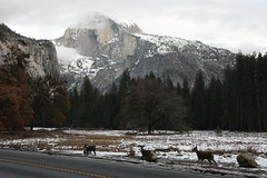 Three Deer and Half Dome, img_3602hd (Akira Murayama) Tags: yosemite yosemitenationalpark yosemitevalley ynp deer halfdome cooksmeadow nature wildlife yosemiteconnect muledeer
