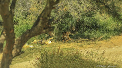 Nature sauvage (Philippe Garrigue) Tags: lion sauvage lions faune nature