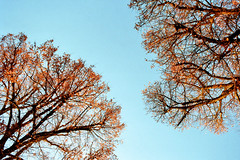 Two trees in the sun (auqanaj) Tags: kodakgold200 nikonfm2n analog bis20190119 cewescanat72dpi film mostlynikonseriese28mm128 trees church weather sunrain amberg stsebastian bayern bavaria germany deutschland