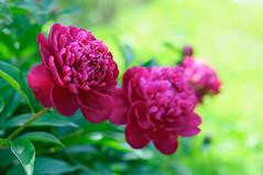 Peonies (master Doratan) Tags: flower june peony red summer garden