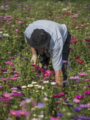 La cueillette (Titole) Tags: man flowers field gather chinaaster asterdechine aster friendlychallenges