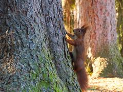 anhänglich (lebastian) Tags: panasonic dmcgx8 olympus m60mm f28 macro eichhörnchen squirrel
