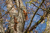 Hoernchen-2018-4053.jpg (Joachim Dobler) Tags: eichhörnchen eichhoernchen squirrel écureuil ardilla scoiattolo esquilo nature natur nagetier maple walnut esquito wildlife animal cute naturephotography squirrellove wildlifephotography bestsquirrel nutsaboutsquirrels cuteanimals