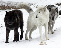 The Wolf Pack (Bill G Moore) Tags: wolf animal naturephotography wild wildlife canon snow winter black white gray