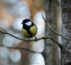 Great tit | Talitiainen (Piia | Nature photography) Tags: greattit talitiainen bird lintu birdphoto lintukuva bokeh birdphotography finland
