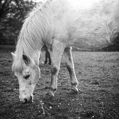Little horse friend (Nobusuma) Tags: hasselblad hasselblad500cm zeissplanar 80mm f28 ilford ilfordpanf 50asa 120 6x6 square analog monochrome blackandwhite horse ハッセルブラッド 中判写真 馬 アナログ フィルム 白黒