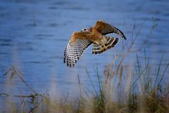 Red-shouldered hawk (Buteo lineatus) in flight at Harns Marsh, Southwest Florida (diana_robinson) Tags: redshoulderedhawk buteolineatus birdinflight harnsmarsh florida fortmyers bird marsh pond water southwestflorida hawk
