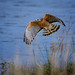 Red-shouldered hawk (Buteo lineatus) in flight at Harns Marsh, Southwest Florida