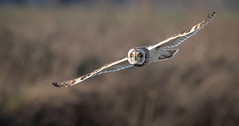 The look... (Steve D'Cruze) Tags: asio flammeus short eared owl sefton merseyside nikon d500 sigma 150600mm c