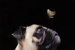 Marvel the Pug (patrick.b.collins) Tags: pug butterfly pet dog portraits