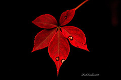 Red (psdenbow) Tags: red fall leaves maryland tamron tamron90 canon