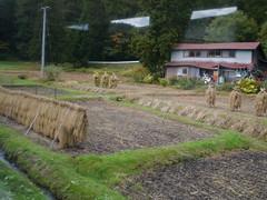 Drying rice crops (しまむー) Tags: panasonic lumix dmcgx1 gx1 sigma art 19mm f28 dn round trip train